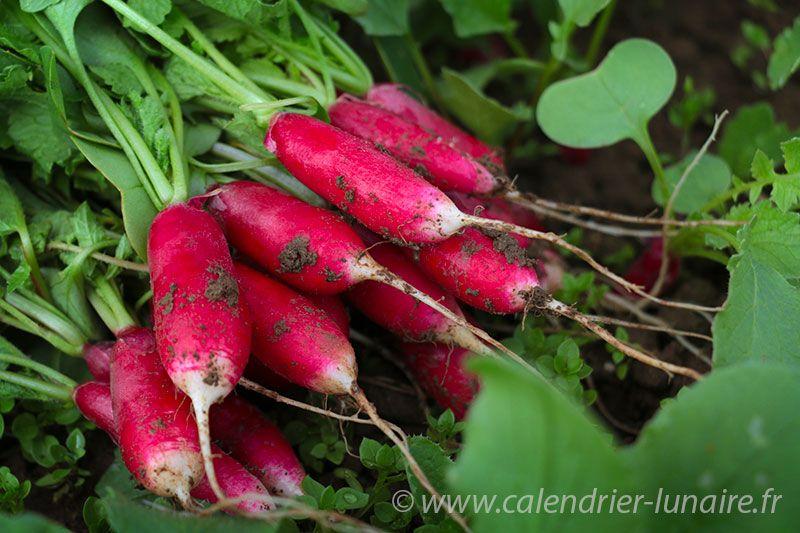 radis-printemps.jpg
